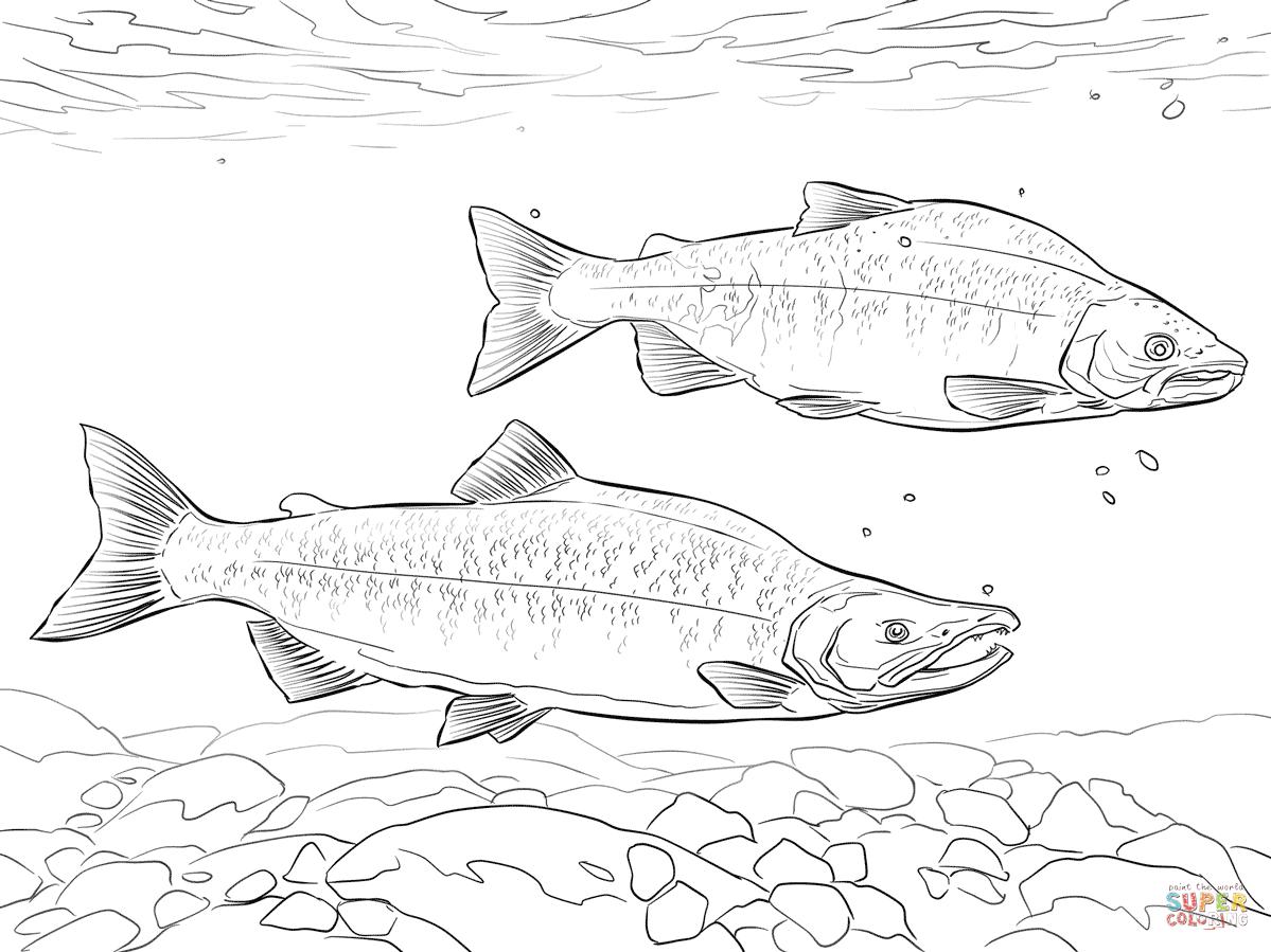 1199x899 Kokanee Salmon Coloring Page Free Printable Coloring Pages
