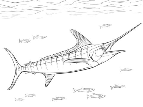 480x360 Realistic Atlantic Blue Marlin Coloring Page Free Printable