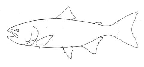 480x224 Salmon 4 Coloring Page Free Printable Coloring Pages