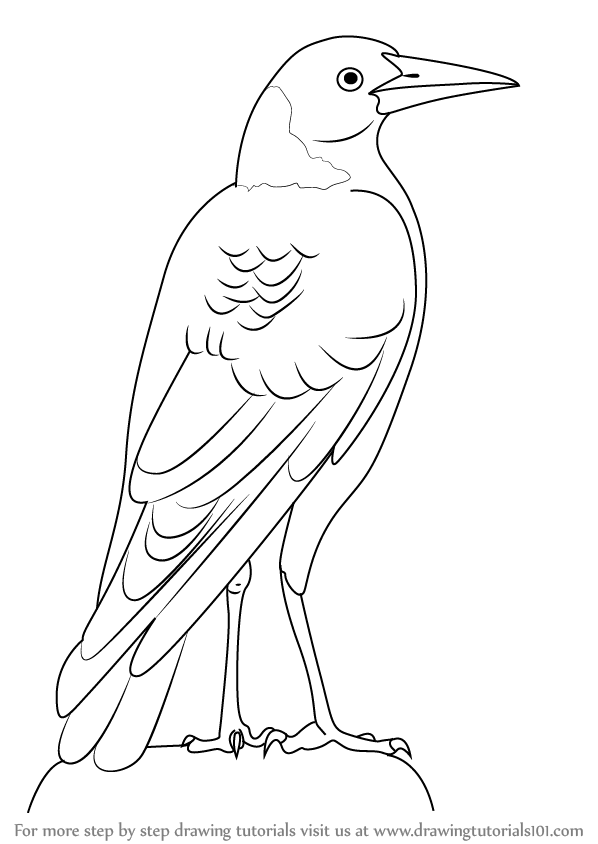 598x844 Learn How To Draw An Australian Magpie (Birds) Step By Step