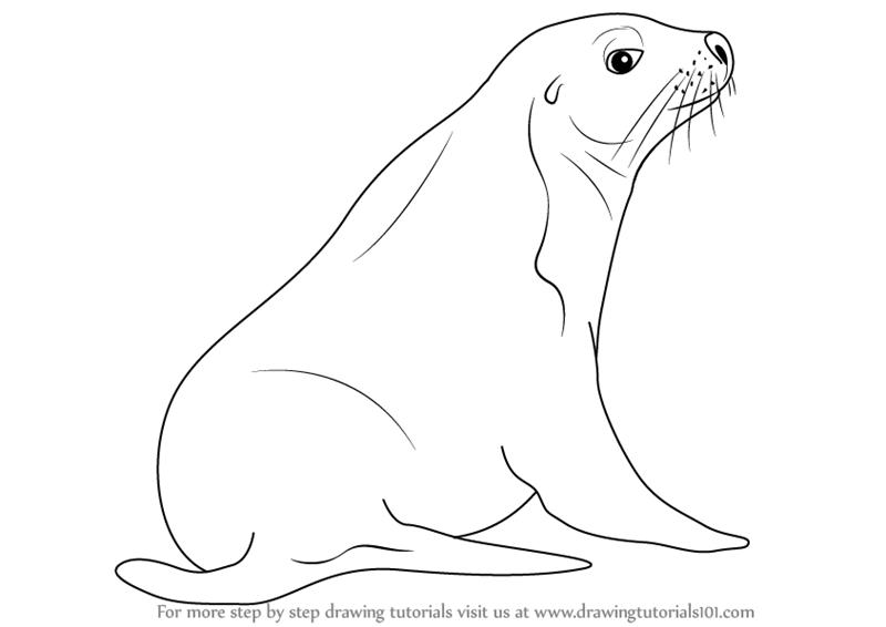 800x566 Learn How To Draw An Australian Sea Lion (Sea Water Animals) Step