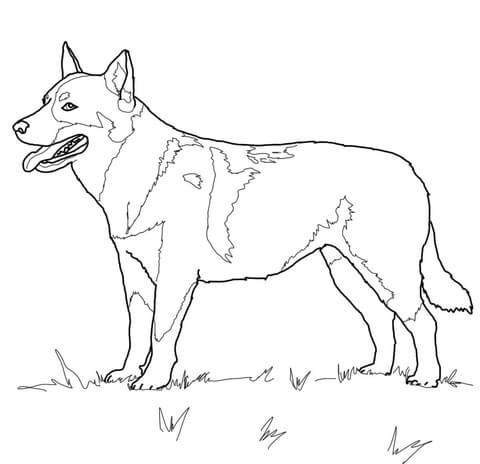 480x464 Australian Cattle Dog Coloring Page Free Printable Coloring Pages