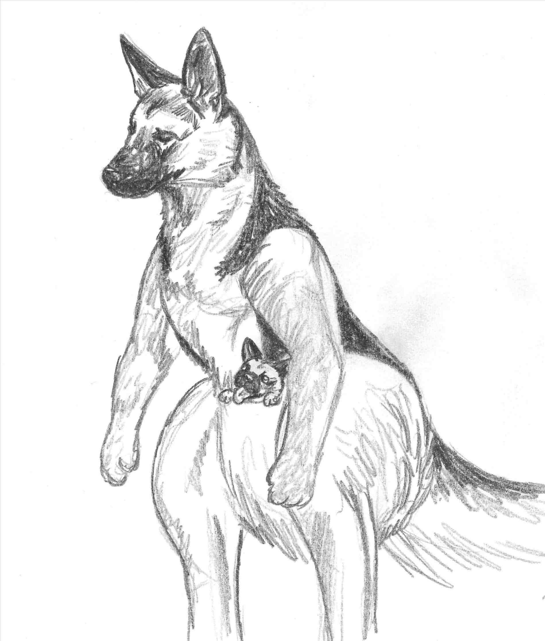 1899x2232 Australian Shepherd Head Drawing Shepherd Wip By Xmushkennelsx