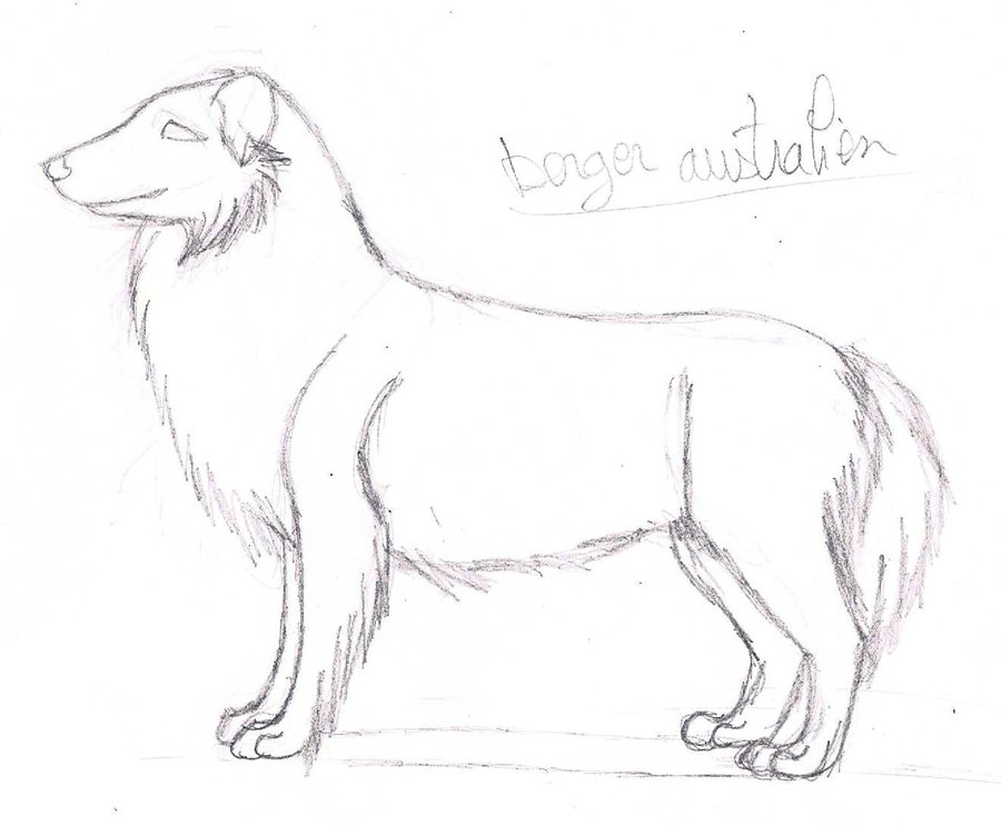 900x743 Sketch. Australian Shepherd By Licorneor