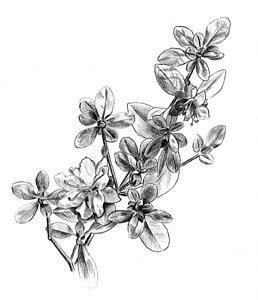 258x300 Azalea Study Drawing By Tim Treadwell