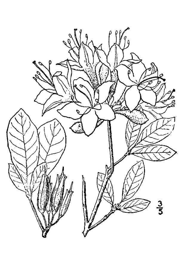 600x900 Large Image For Azalea Lutea () Usda Plants