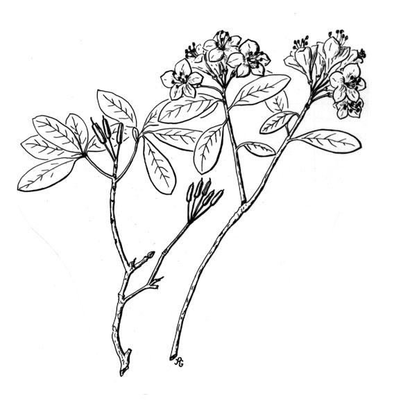 568x600 Azalea (Rhododendron Spp.)