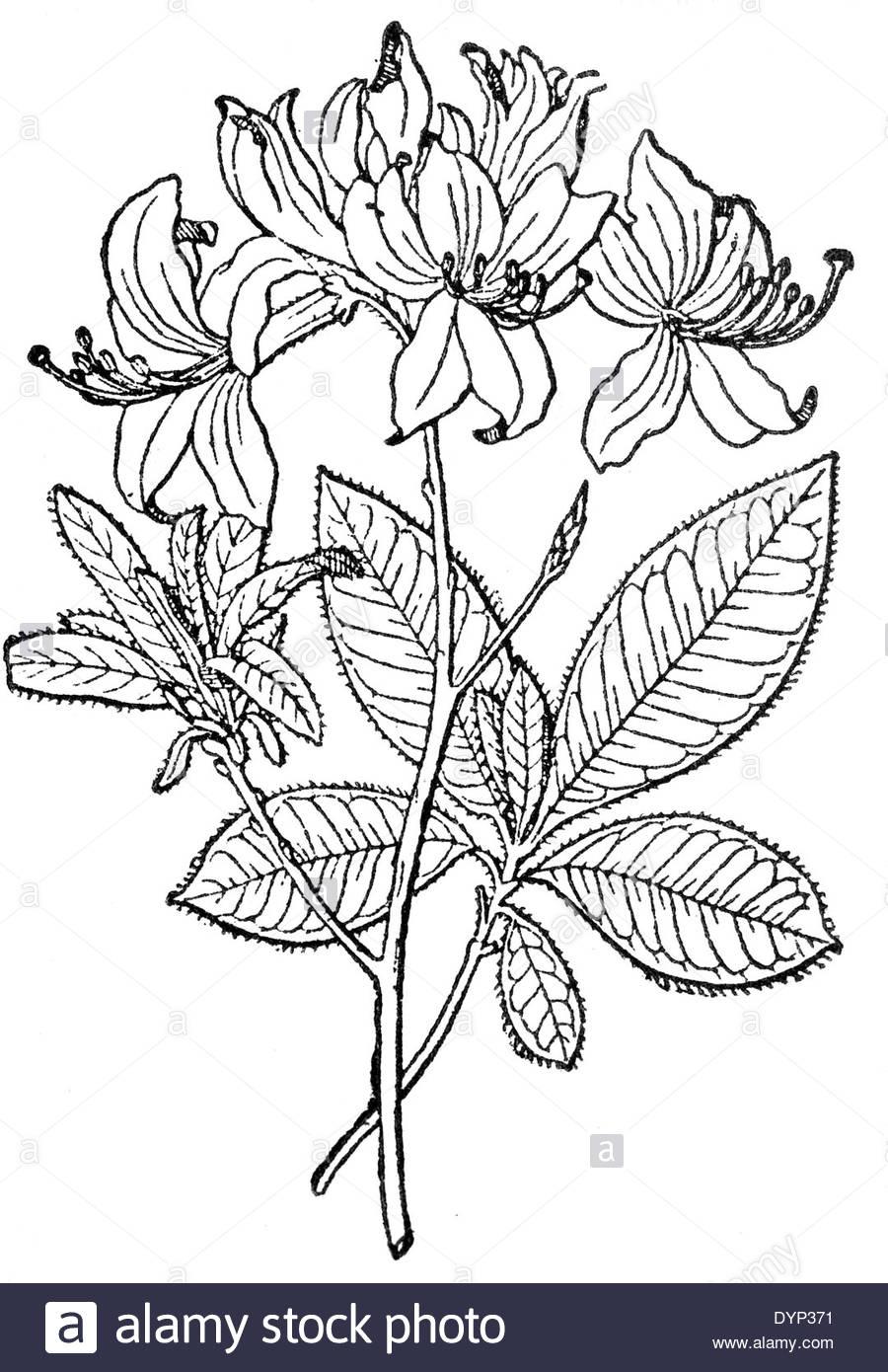 900x1390 Yellow Azalea, Honeysuckle Azalea (Rhododendron Luteum