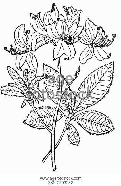 426x655 Yellow Azalea Rhododendron Luteum, Rhododendron Flavum, Azalea