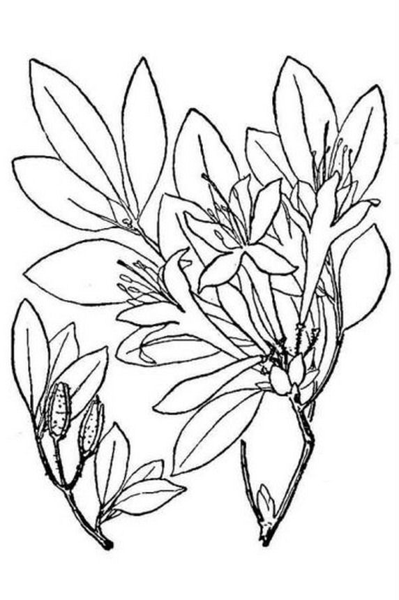 572x860 Azalea Coloring Pages
