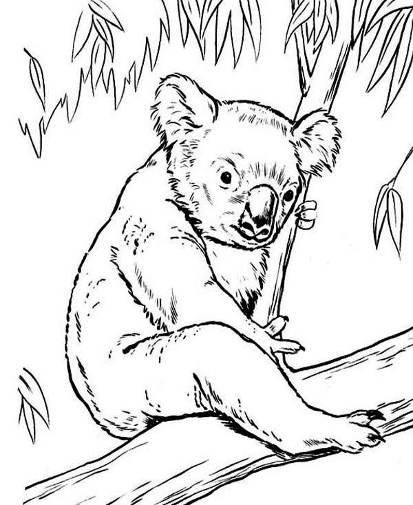 600x734 Koala Bear, Koala Bear On Eucalyptus Tree Coloring Page Pages