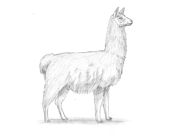 550x440 How To Draw A Camel (Bactrian)