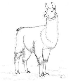 236x279 How To Draw A Llama 6 Steps