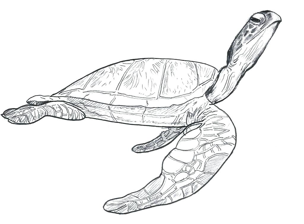 1024x756 Green Sea Turtle Coloring Page Coloring Pages Of Sea Turtles