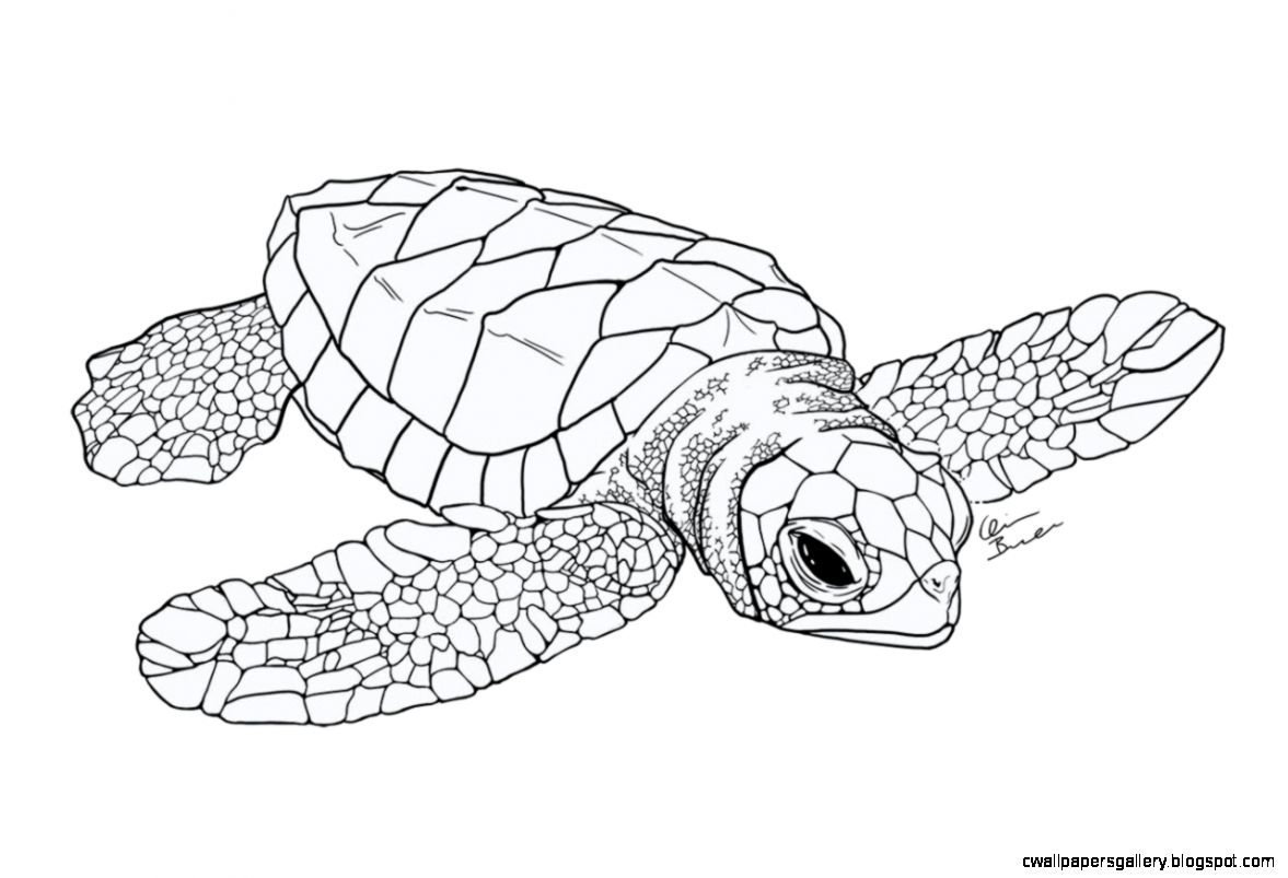 1177x803 Baby Sea Turtle Drawing Wallpapers Gallery
