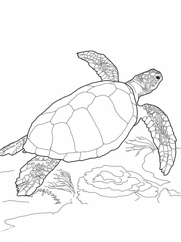 600x800 Sea Turtle, Loggerhead Sea Turtle Coloring Page Nature
