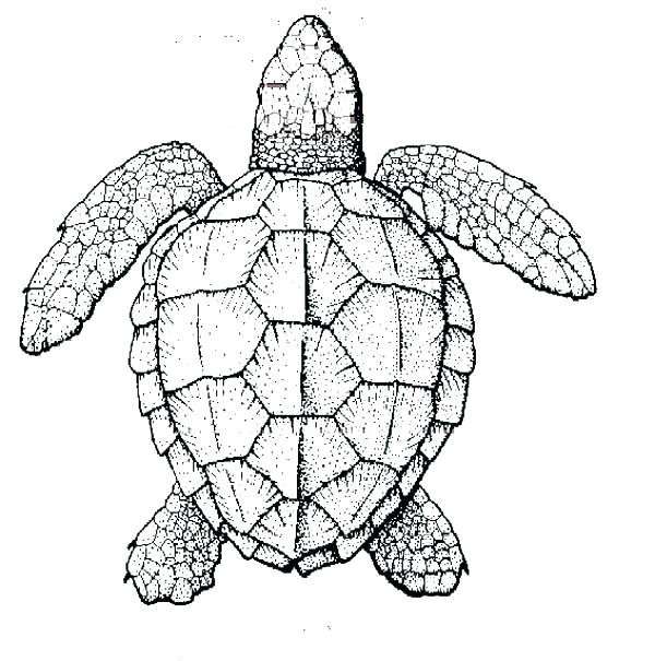 600x605 Turtle Coloring Pages Green Sea Turtle Coloring Pages Sea Turtle