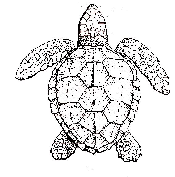 567x572 Symmetry Of Sea Turtle Shell New Tattoo Ideas