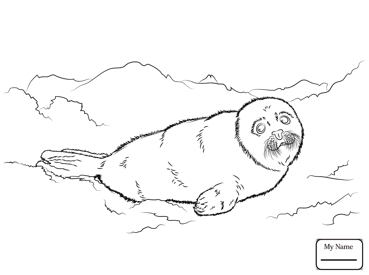 1253x934 Coloring Pages Seals Cute Harp Seal Baby Mammals