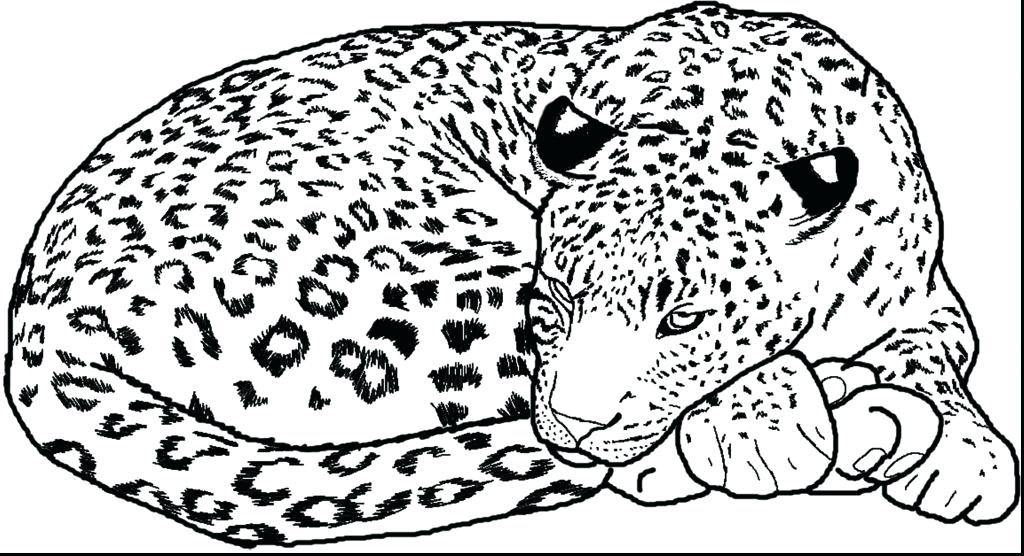 1024x556 Snow Leopard Coloring Pages Snow Leopard Coloring Page Snow
