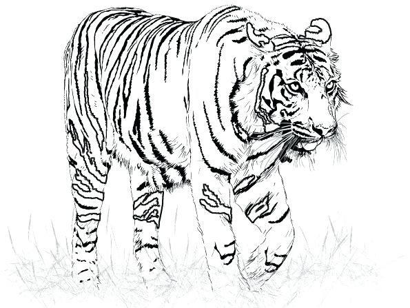 595x447 Coloring Pages Of Tigers A Realistic Drawing Of Tiger Coloring