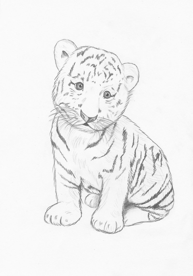 800x1143 Images For Gt Easy Baby Tigers Drawings Animals