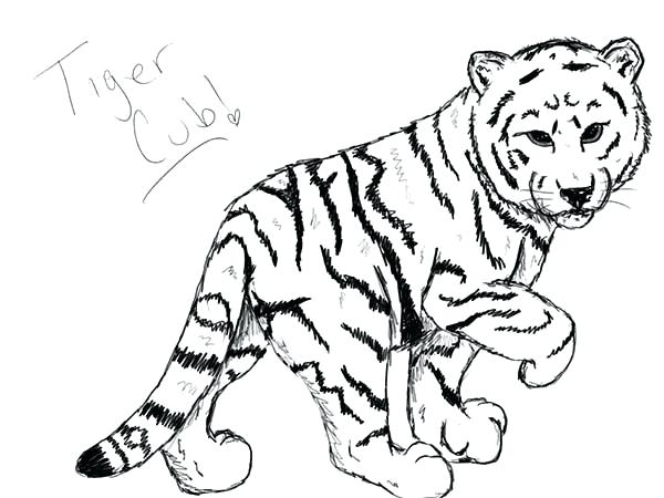 600x450 White Tiger Coloring Pages Cute Coloring Pages How To Draw A Baby