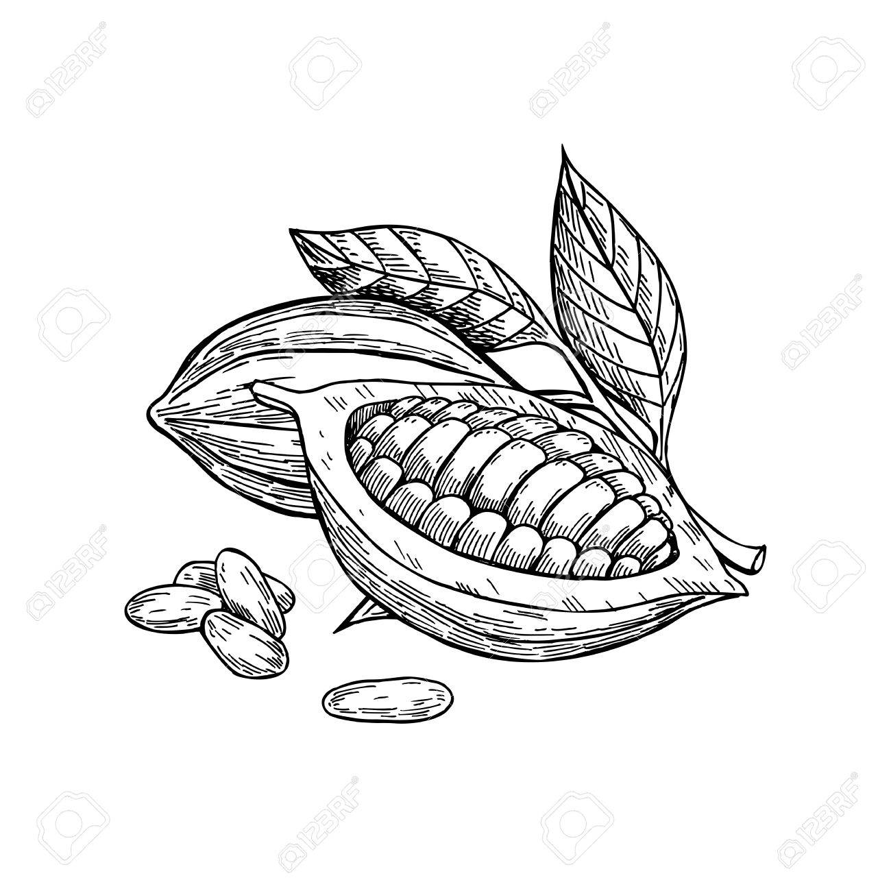1300x1300 Cocoa Vector Superfood Drawing Set. Isolated Hand Drawn