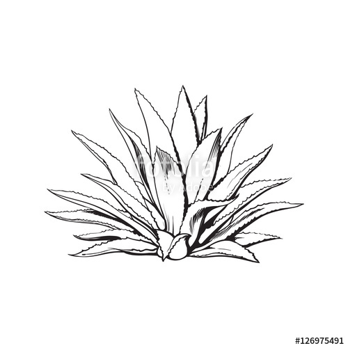500x500 Hand Drawn Blue Agave, Main Tequila Ingredient, Sketch Style