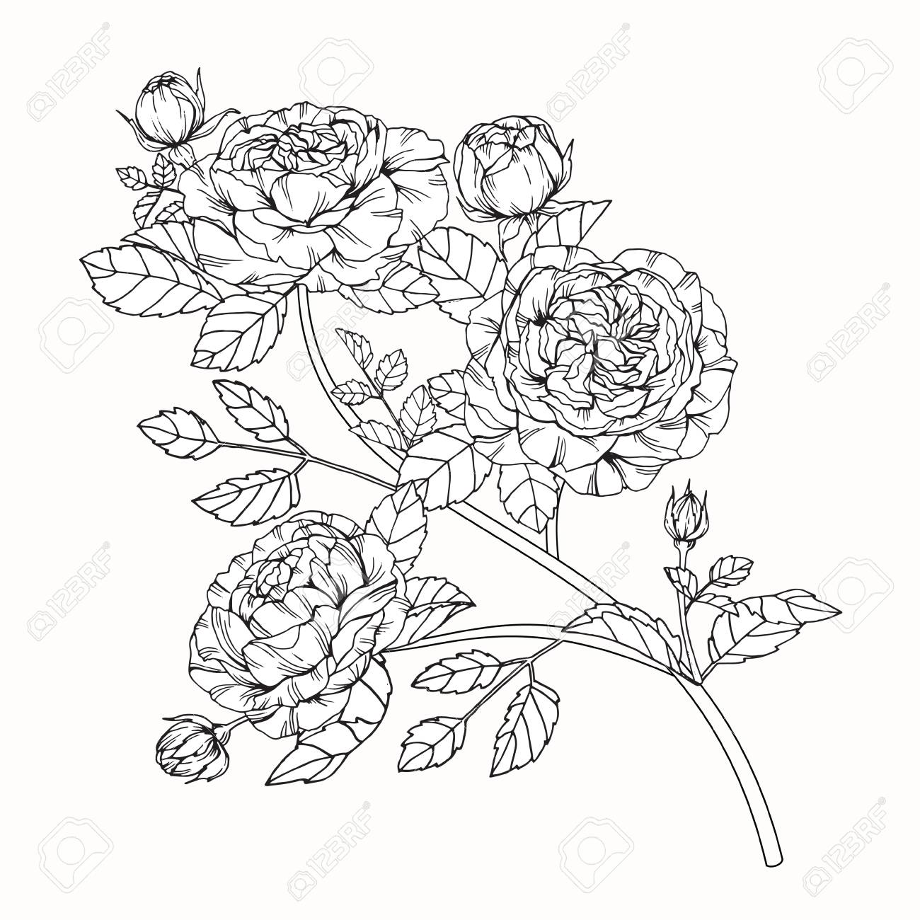 1300x1300 Rose Flowers Drawing And Sketch With Line Art On White Backgrounds