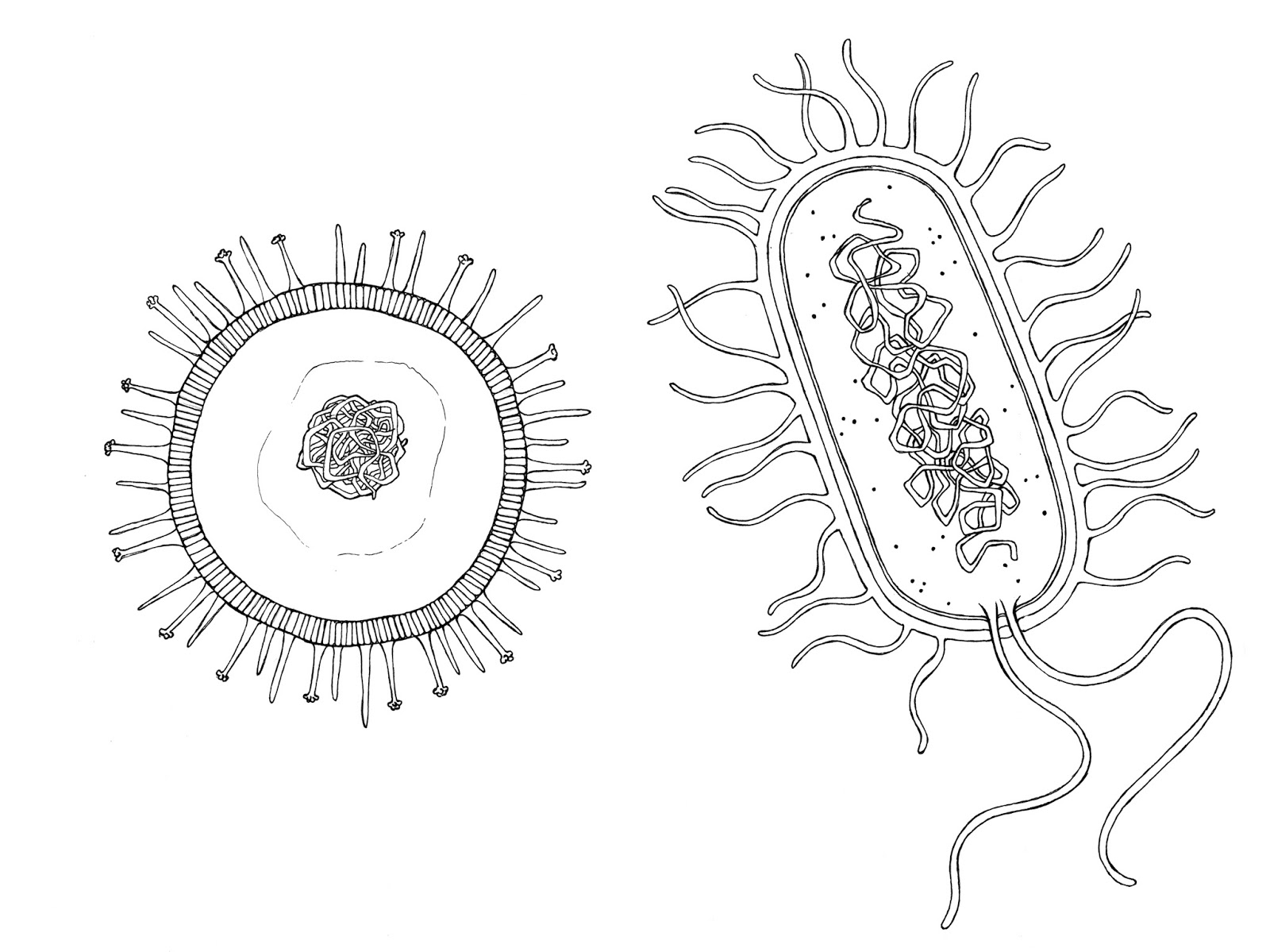 Bacteria line diagram wiring diagram for light switch bacteria drawing at getdrawings com free for personal use bacteria rh getdrawings com bacteria diagram unlabeled ccuart Image collections