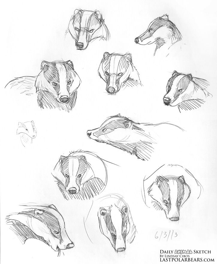 724x880 Daily Animal Sketch Badgers And Caribou The Last Of The Polar
