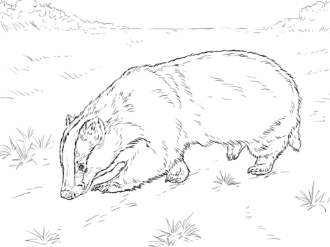 480x360 European Badger Sniffing Ground Coloring Page Free Printable