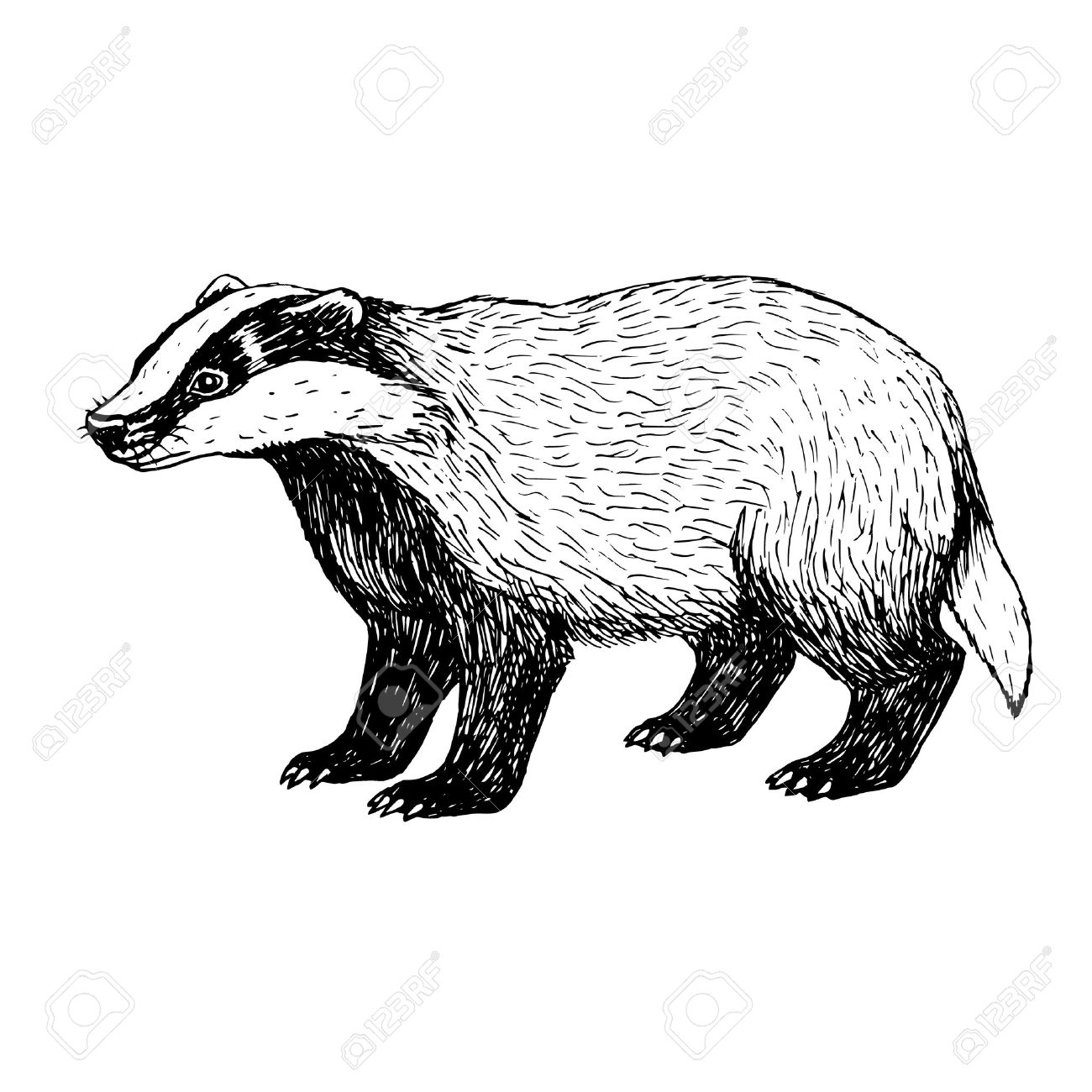 1300x1300 Hand Drawn Badger. Retro Sketch Isolated. Vintage Style. Doodle