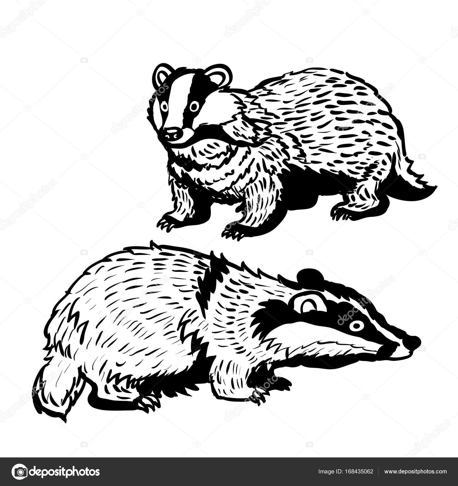 1600x1700 Hand Drawn Two Badger Vector Illustration Stock Vector