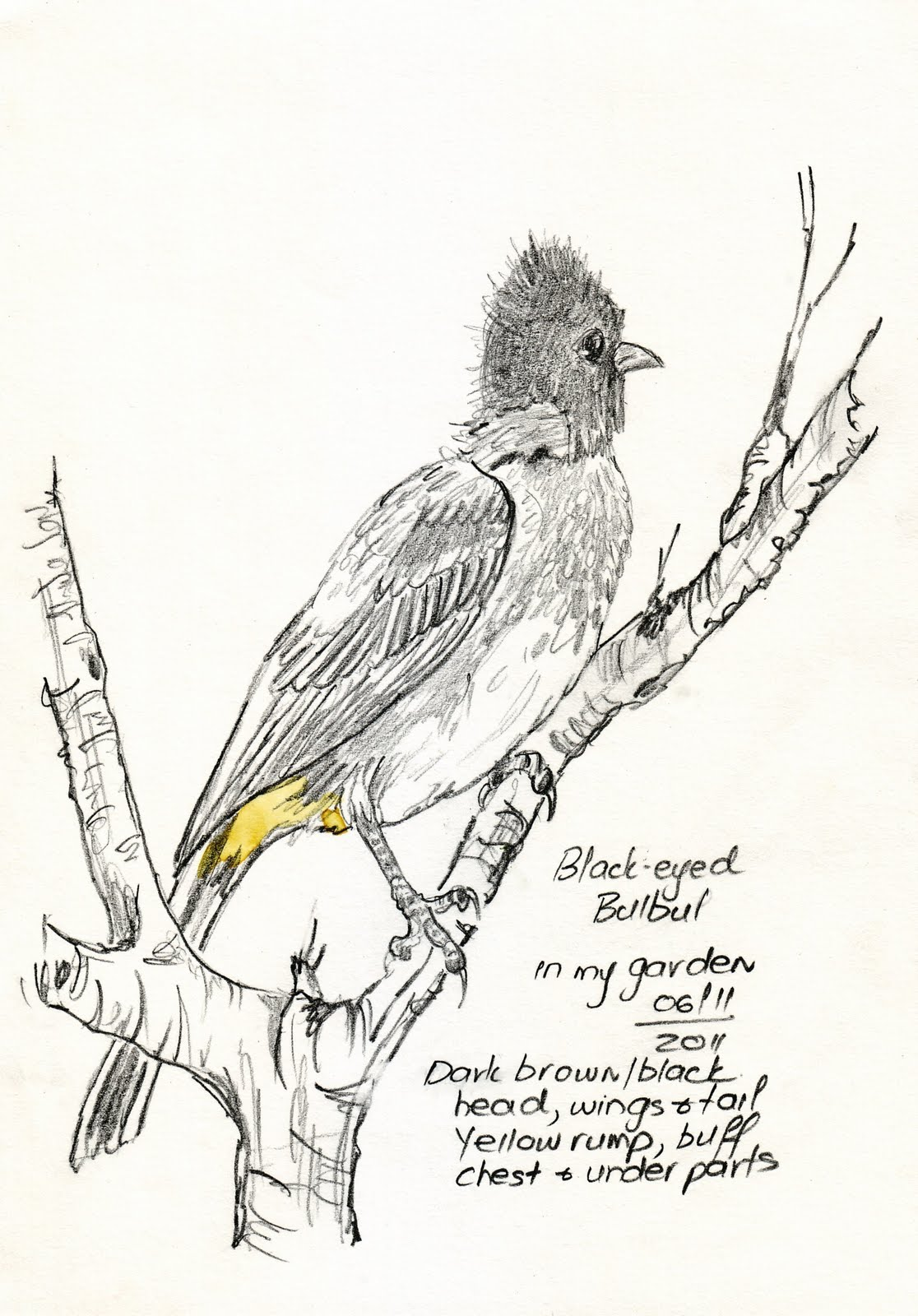 1116x1600 Sketching In Nature Blackeyed Bulbul Sketch