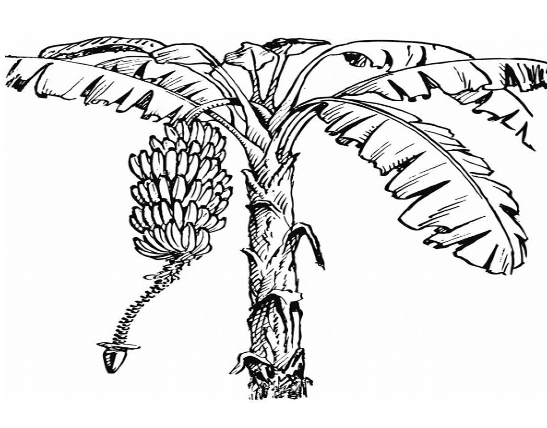 1224x960 Drawing Of Banana Tree Coloring Page Printable Kids Banan To Print