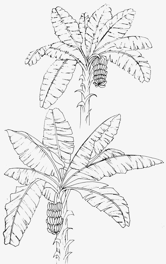 644x1024 Line Drawing Banana Leaves, Web Page, Banana Leaves, Sketch Png