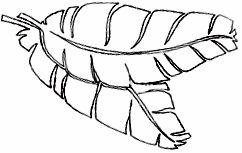 242x153 Banana Leaf Sketch