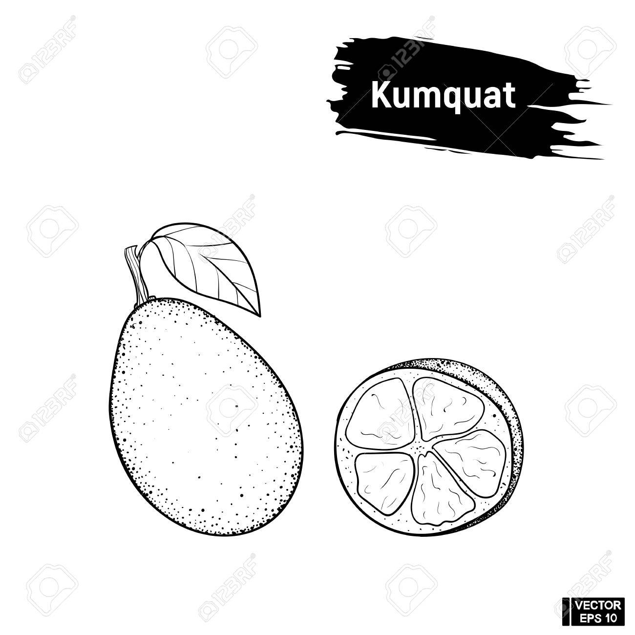 1300x1300 Vector Image. Black And White Sketch Of Exotic Fruit. Kumquat