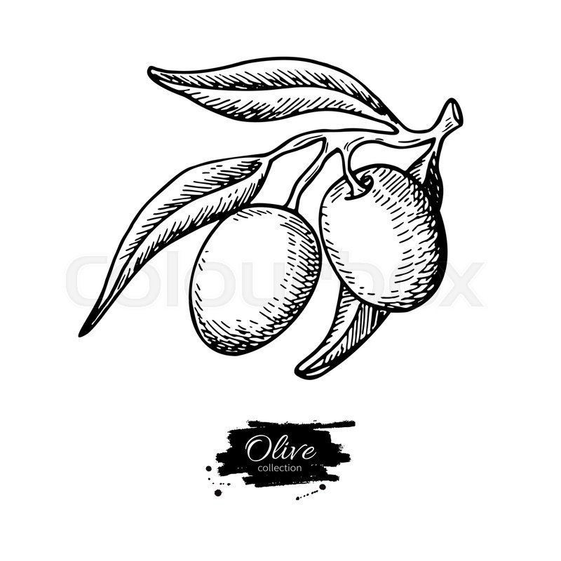 800x800 Olive Branch. Hand Drawn Vector Illustration. Isolated Drawing