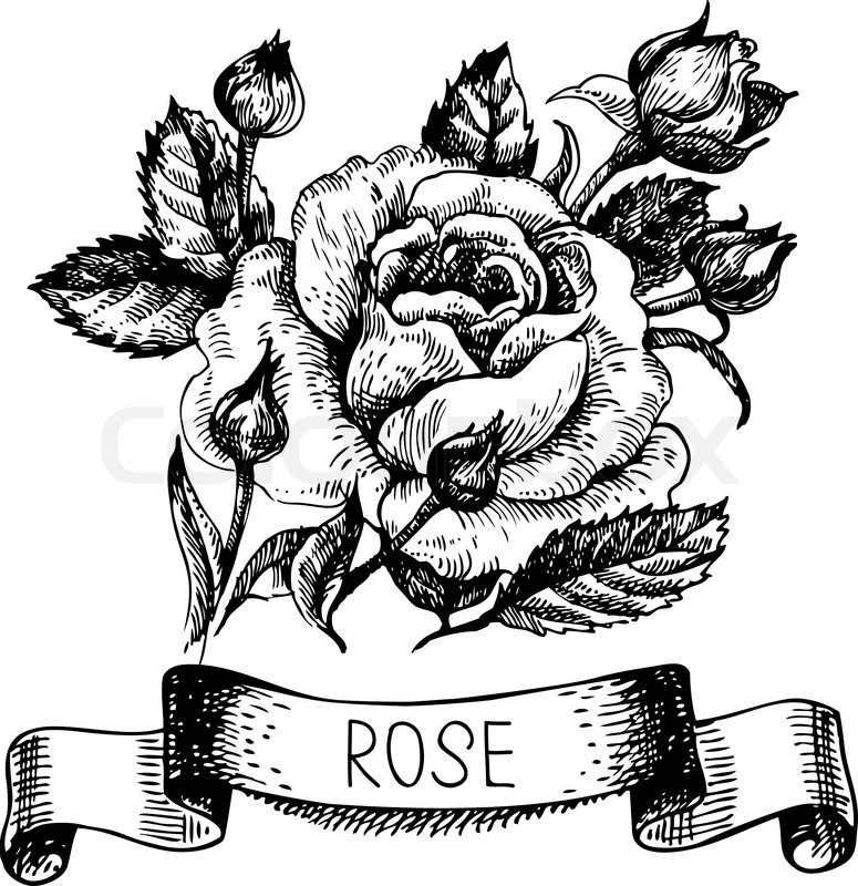 775x800 Sketch Floral Rose Banner With Ribbon. Hand Drawn Illustration