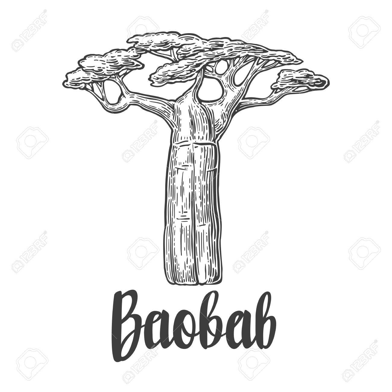 1300x1300 Baobab Tree. Vector Vintage Engraved Illustration On White
