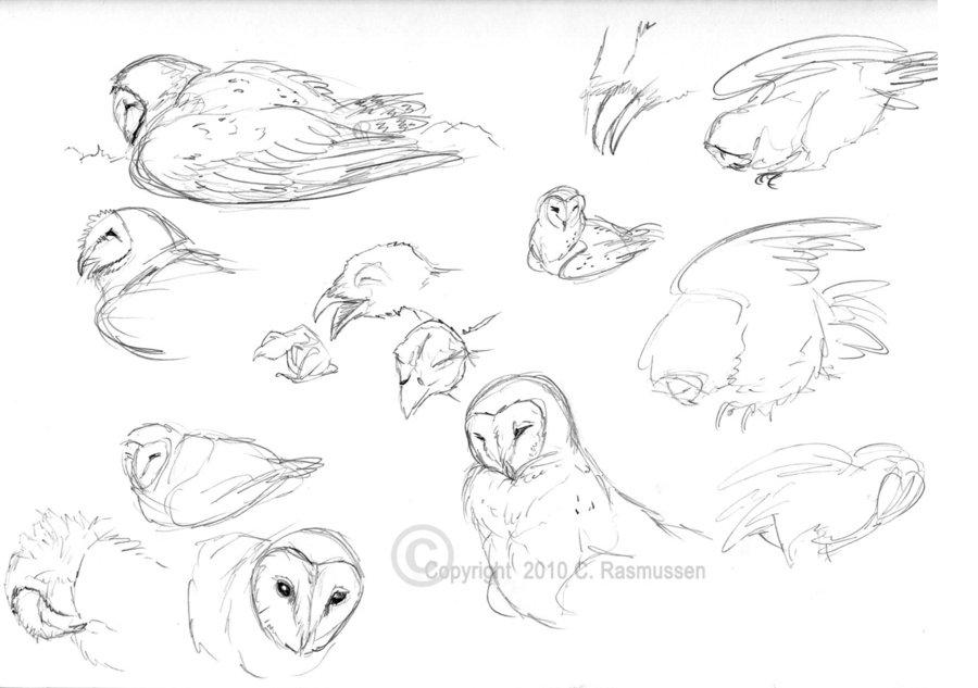 900x633 Barn Owl Sketches By Caseyalexandra