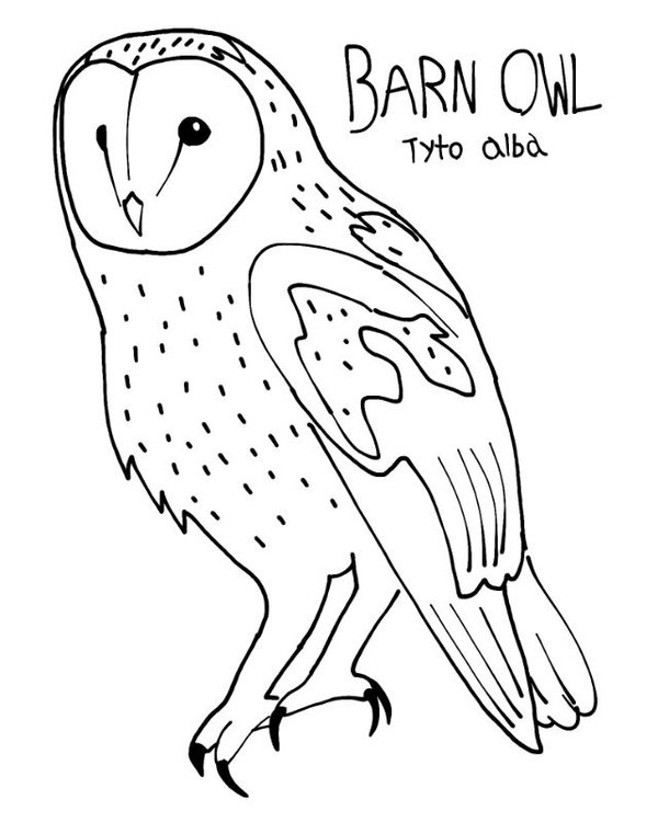600x750 Barn Owl Colouring Page By Projectowl