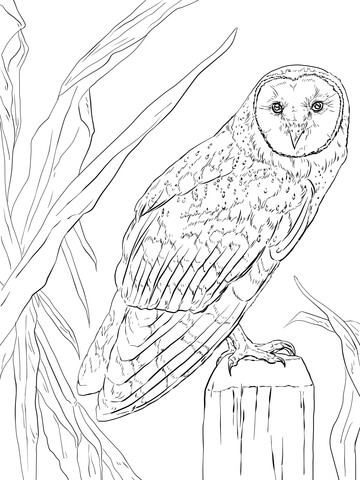 360x480 Barn Owl Coloring Page Free Printable Coloring Pages