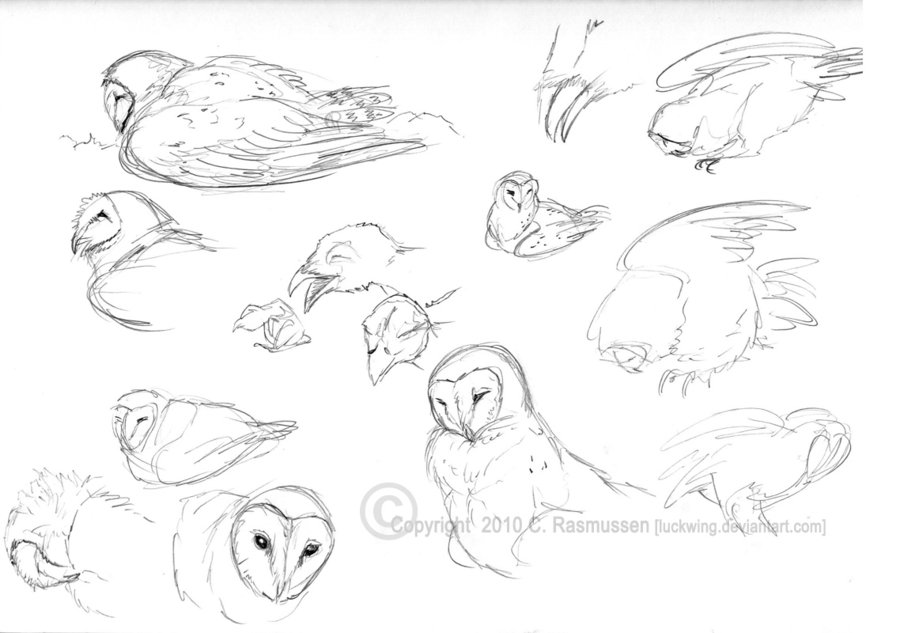 900x633 Barn Owl Sketches By Luckwing