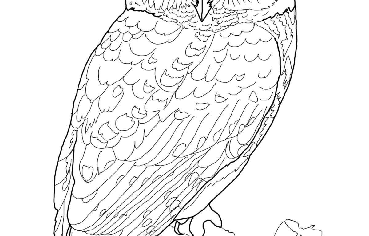 1200x768 Barn Owl Coloring Pages In All You Free Animals Sheets Colouring