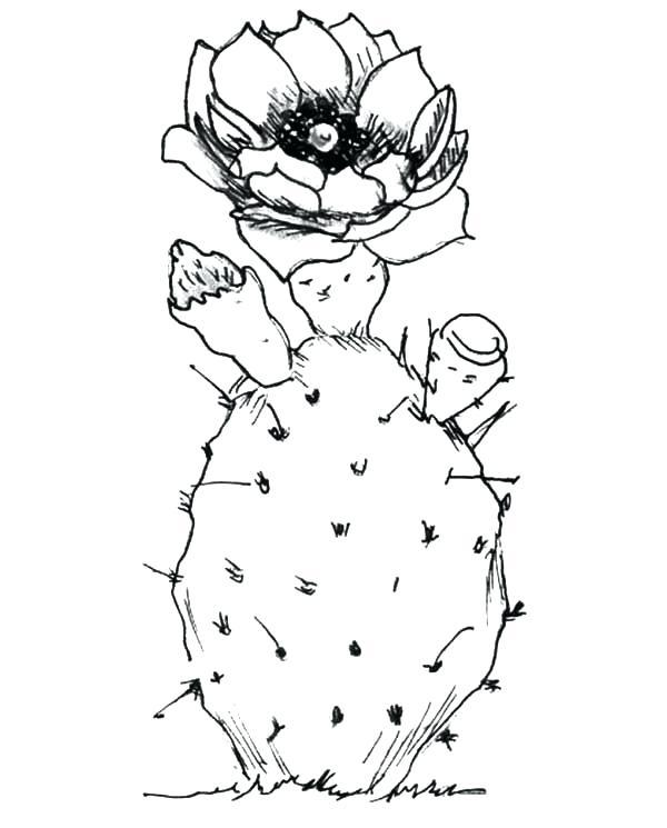 Barrel Cactus Drawing at GetDrawings   Free download