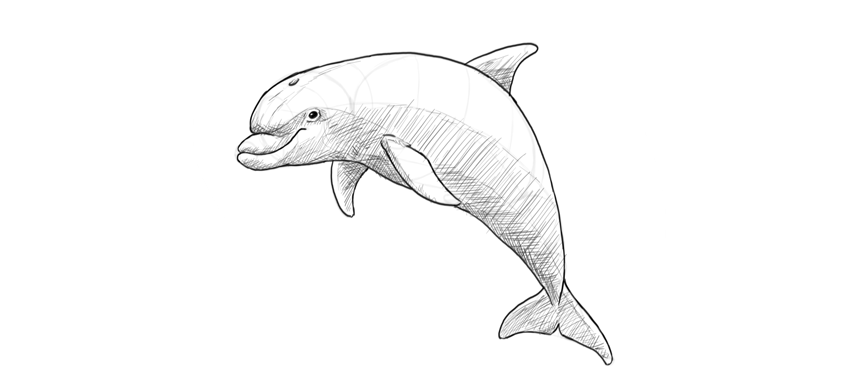 850x387 How To Draw A Dolphin Step By Step